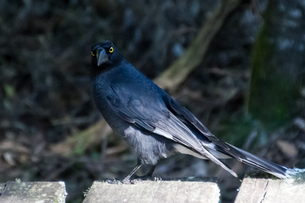 pied-currawong-macedon-ranges