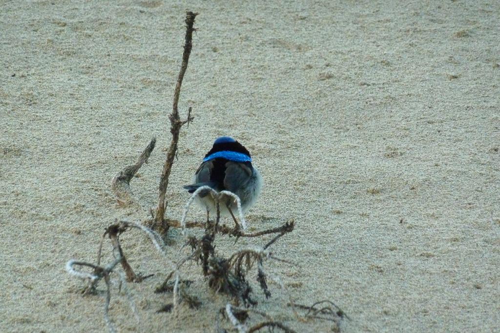 superb-blue-wren