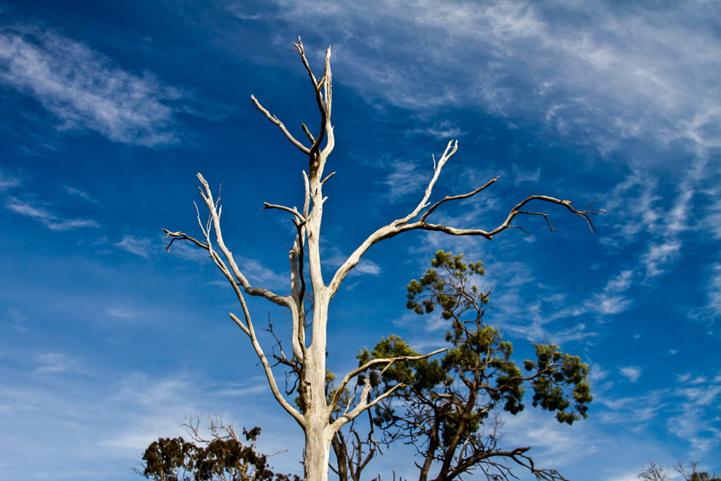 white-tree-trunk-werribee-gorge