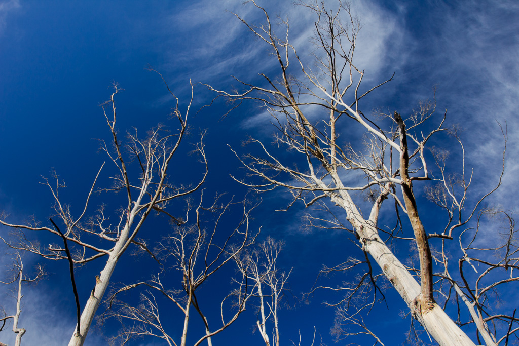 white-tree-trunks-blue-sky