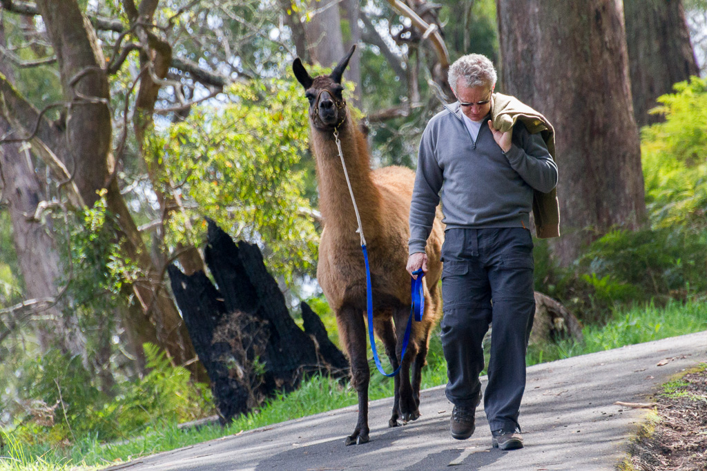 alpaca-walking-on-track-hanging-rock