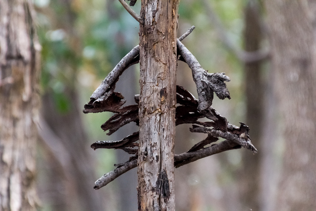 branches-bark-eucalypt-tree