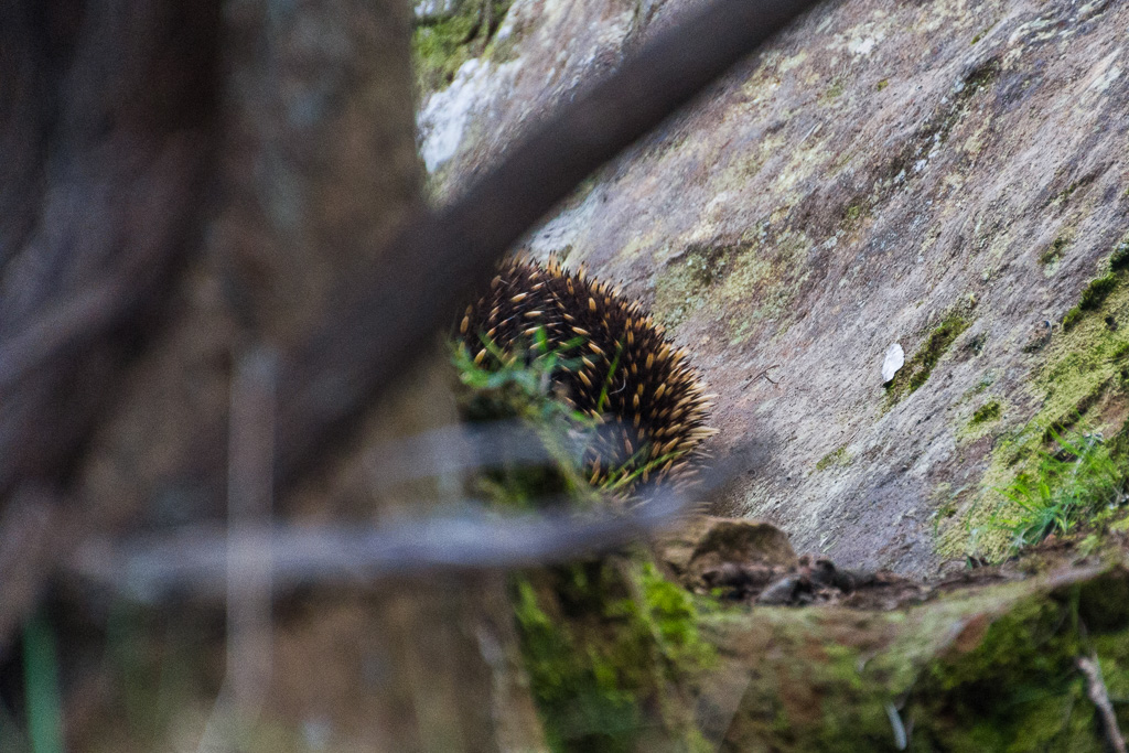 echidna-at-hanging-rock