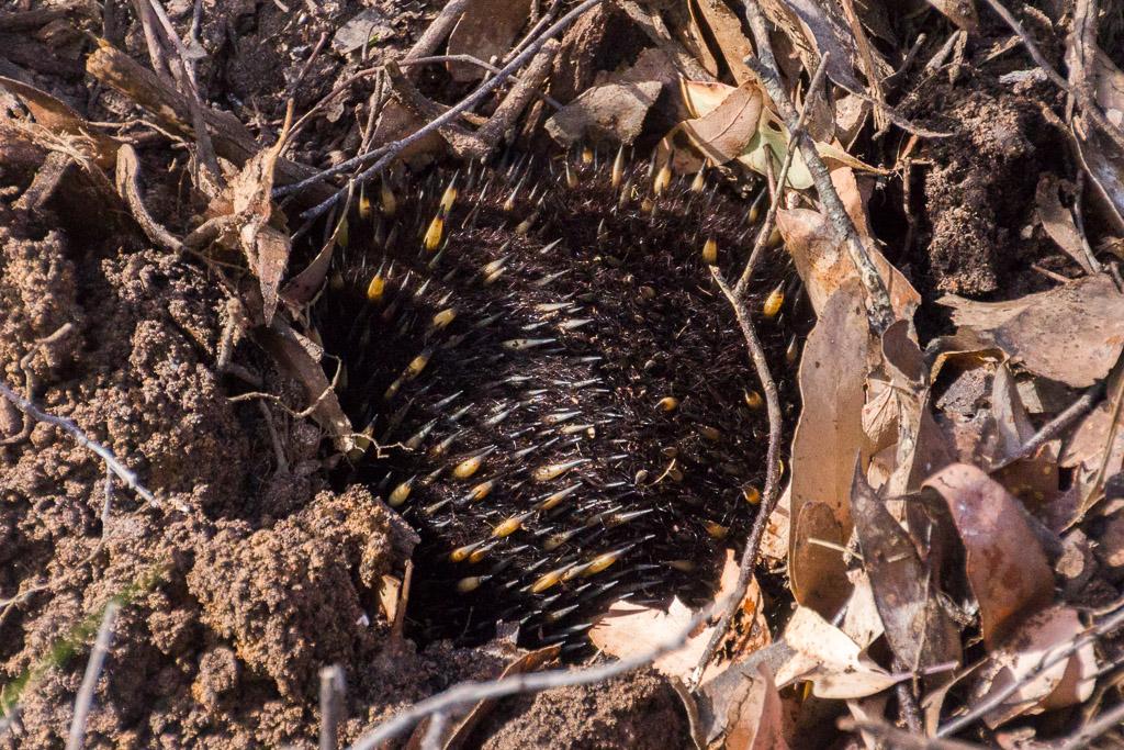 echidna-burrowing