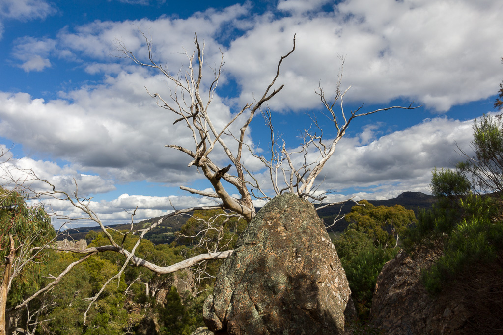 eucalypt-tree-behind-rock