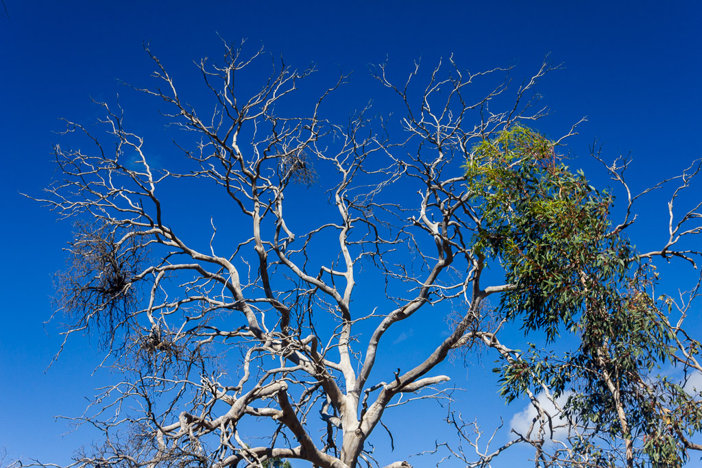 eucalypt-tree-you-yangs