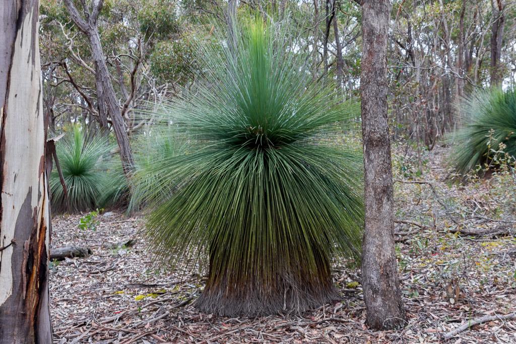 grass-tree-steiglitz