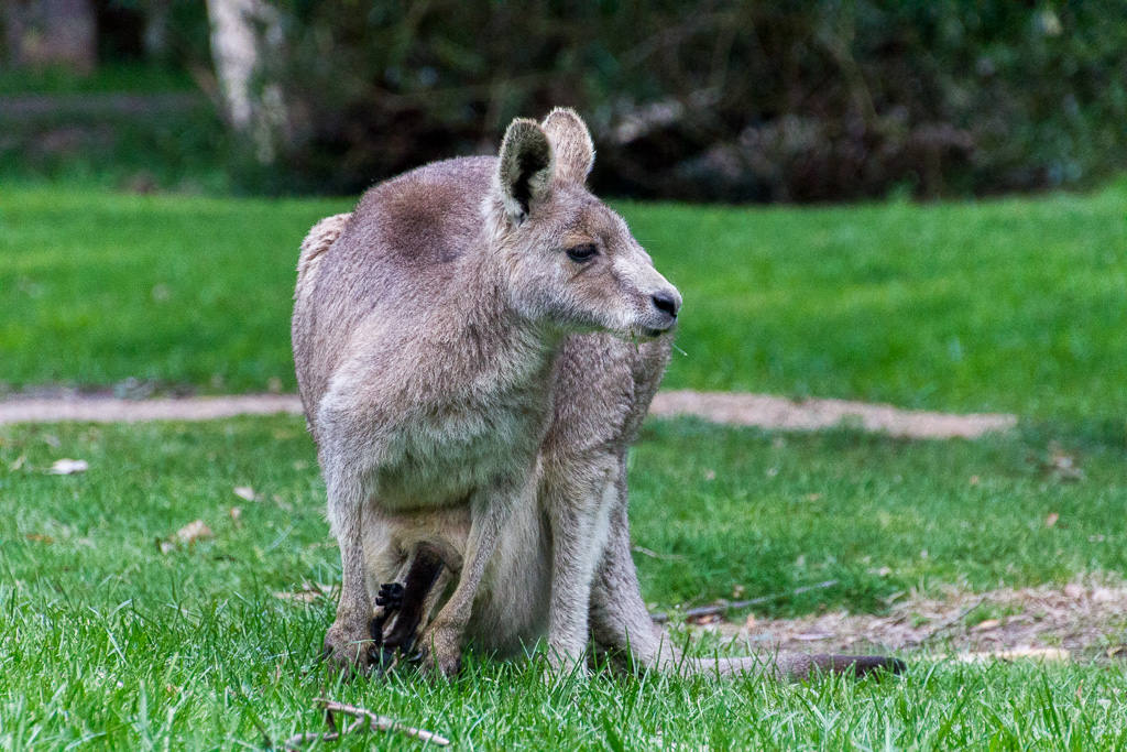 kangaroo-with-joey-in-pouch
