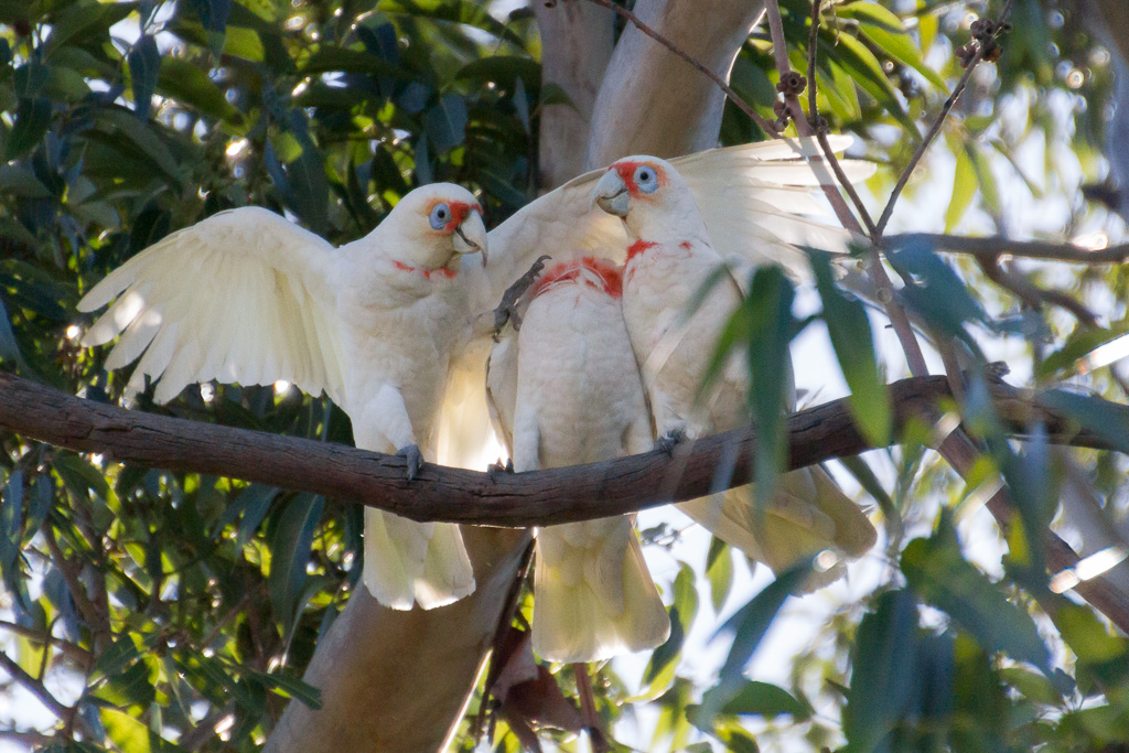 long-billed-corellas-in-tree-albert-park-lake