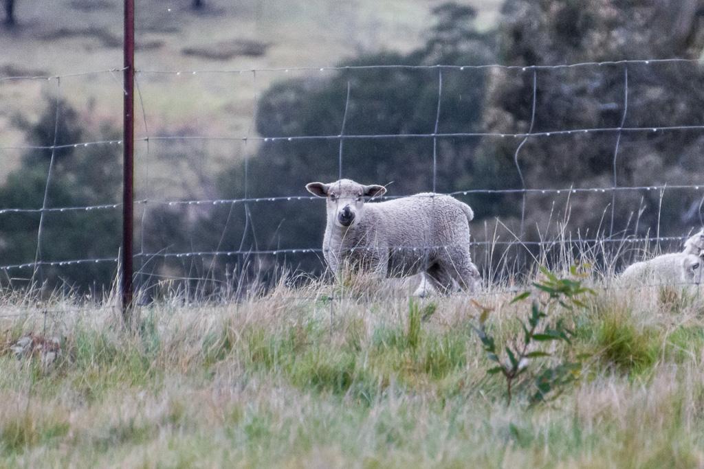 sheep-behind-fence-steiglitz