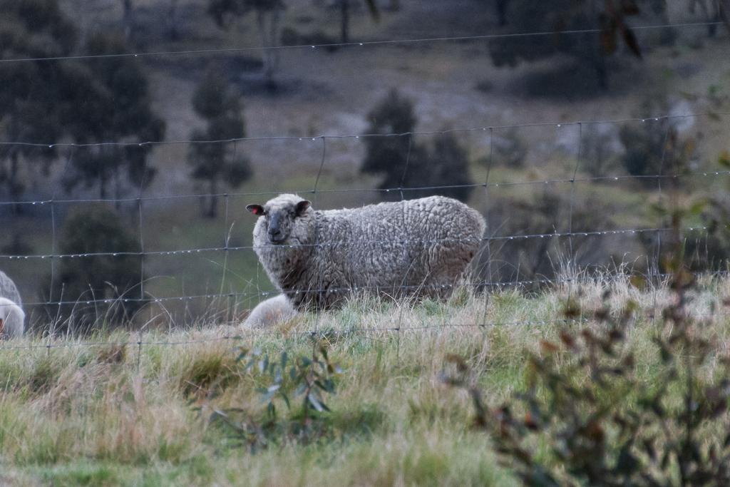 sheep-steiglitz