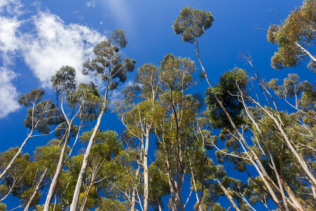 tall-eucalypt-trees-you-yangs