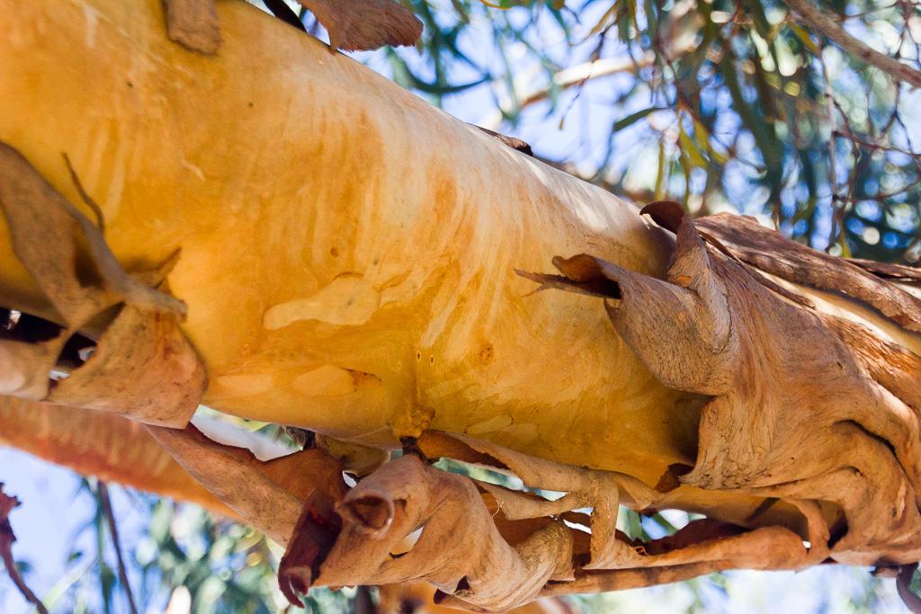 trunk-eucalypt-bark
