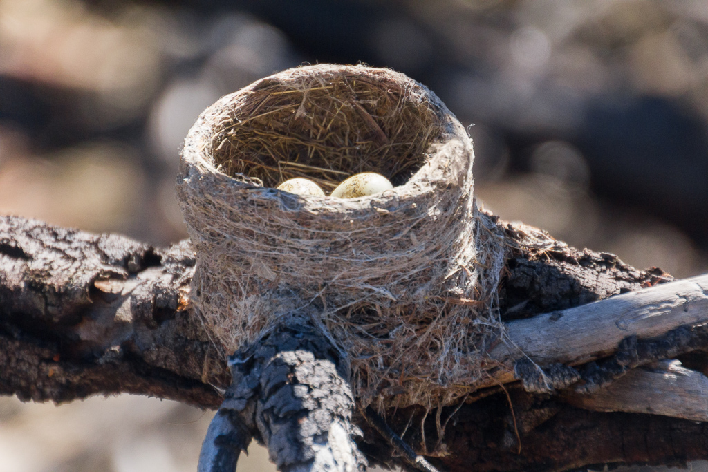 willie-wagtail-nest-you-yangs