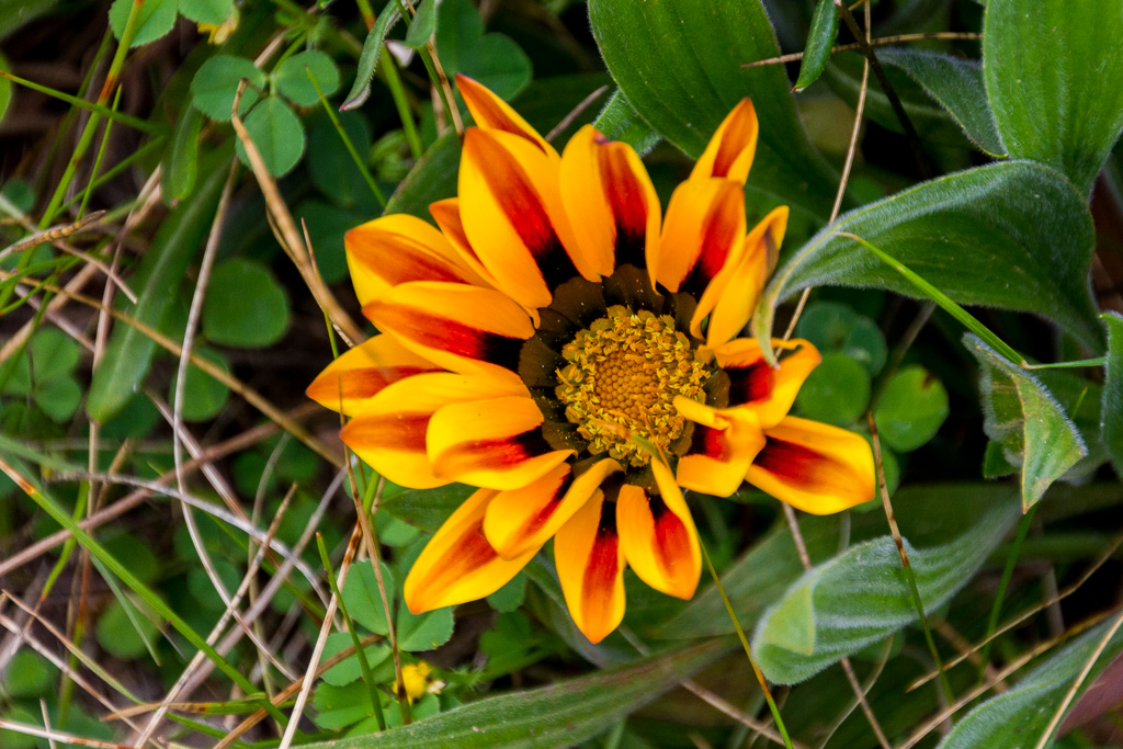 yellow-red-flower-castlemaine