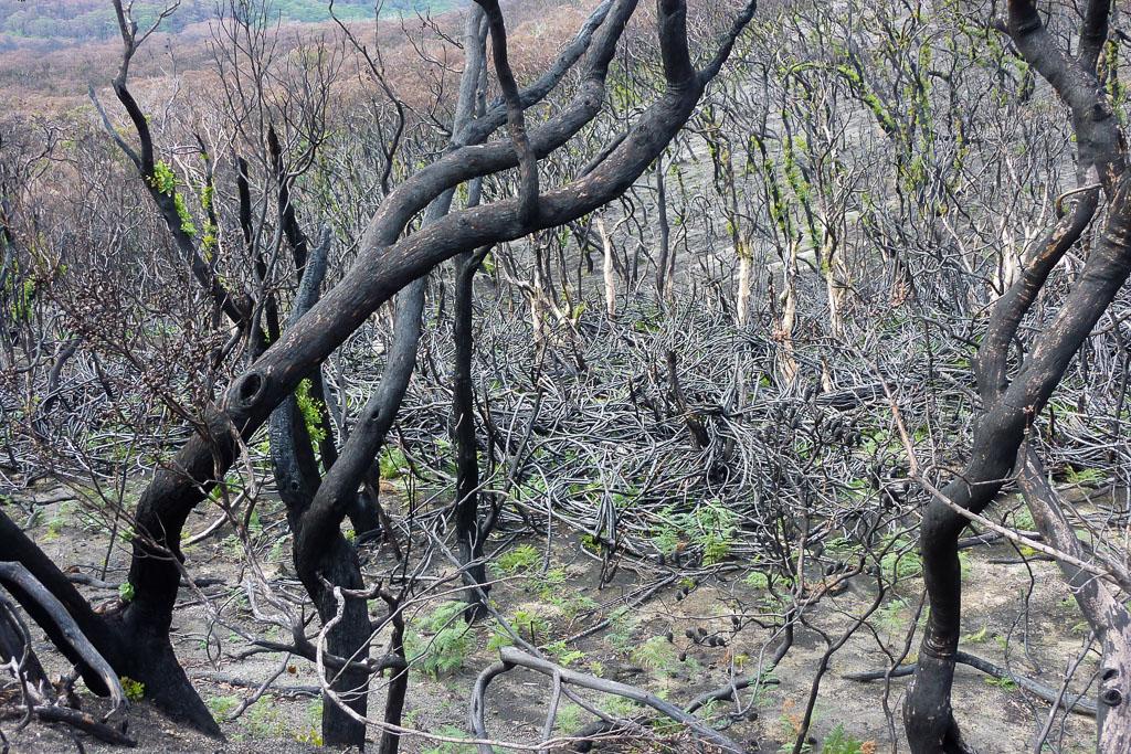 burnt-trees-wilsons-promontory