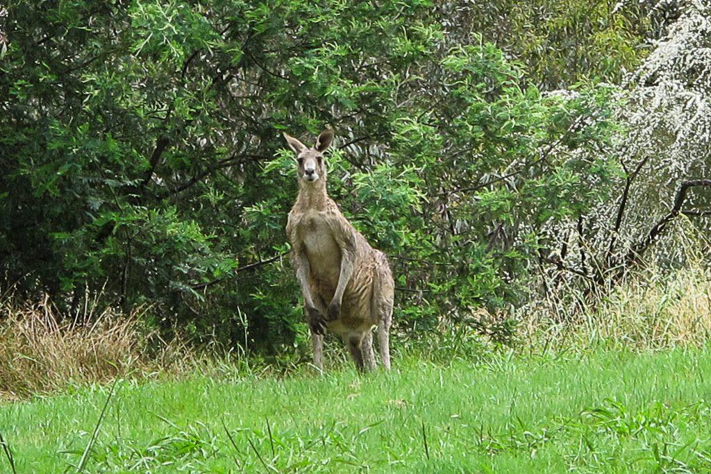kangaroo-westerfolds-park