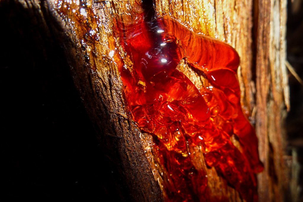 red-sap-on-tree