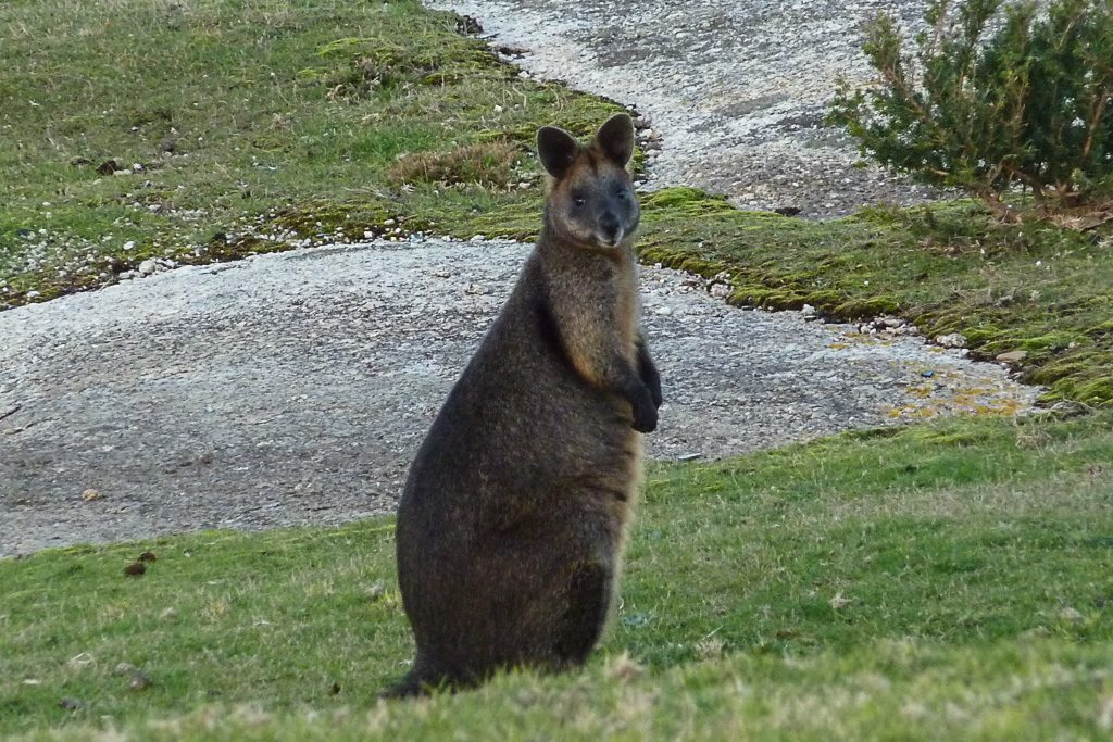 wallaby-at-wilsons-prom-lighthouse