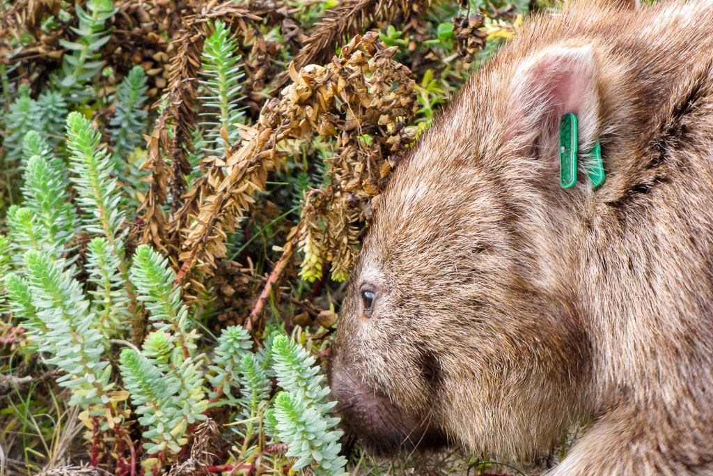 wombat-in-bushes-wilsons-promontory