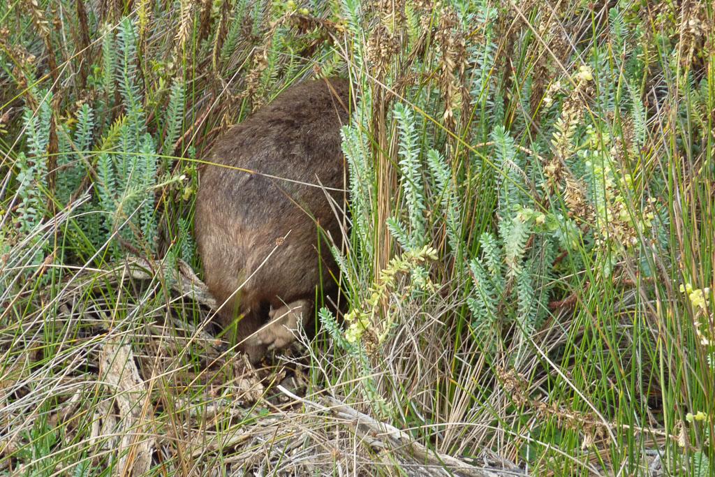 wombat-in-grass-wilsons-promontory
