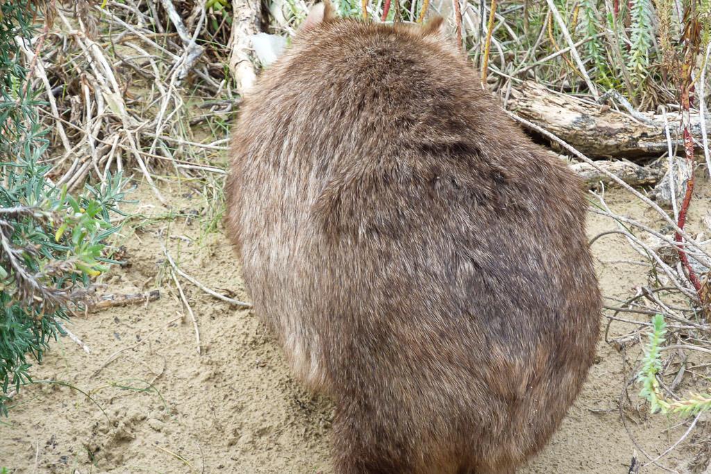 wombat-near-beach-wilsons-promontory