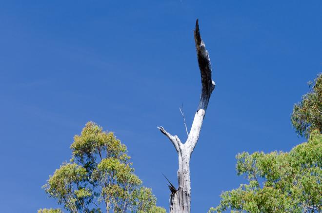 bare-burnt-branch-eucalypt