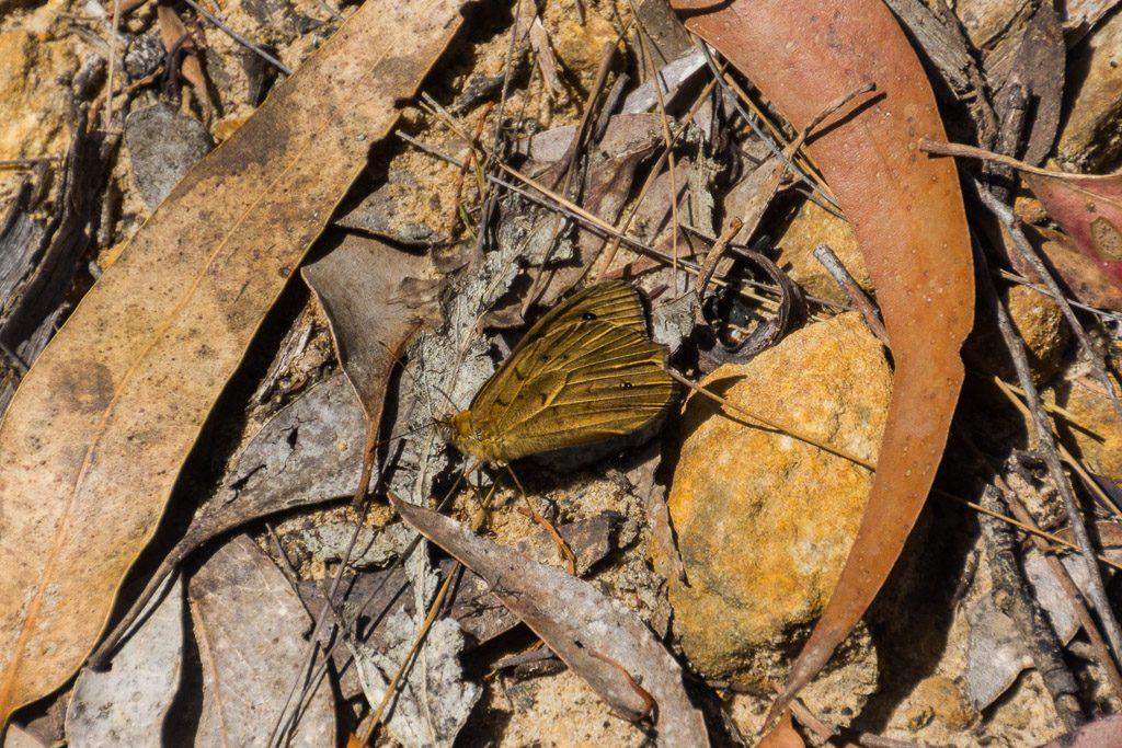 butterfly-grampians
