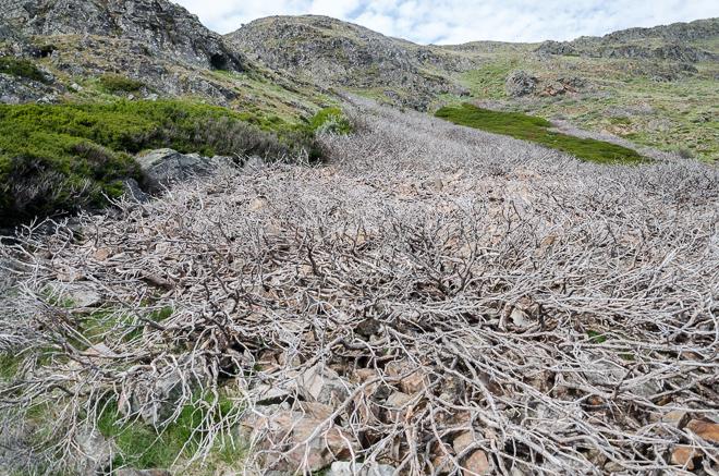 dead-trees-below-mount-buller