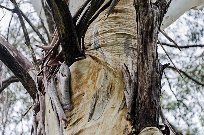 folds-bark-eucalypt-tree