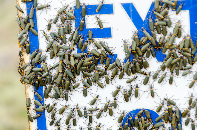 green-insects-on-sign-mount-buller