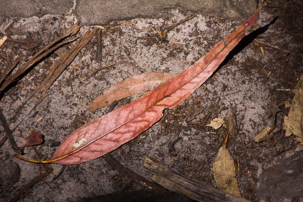 large-eucalypt-leaf-grampians