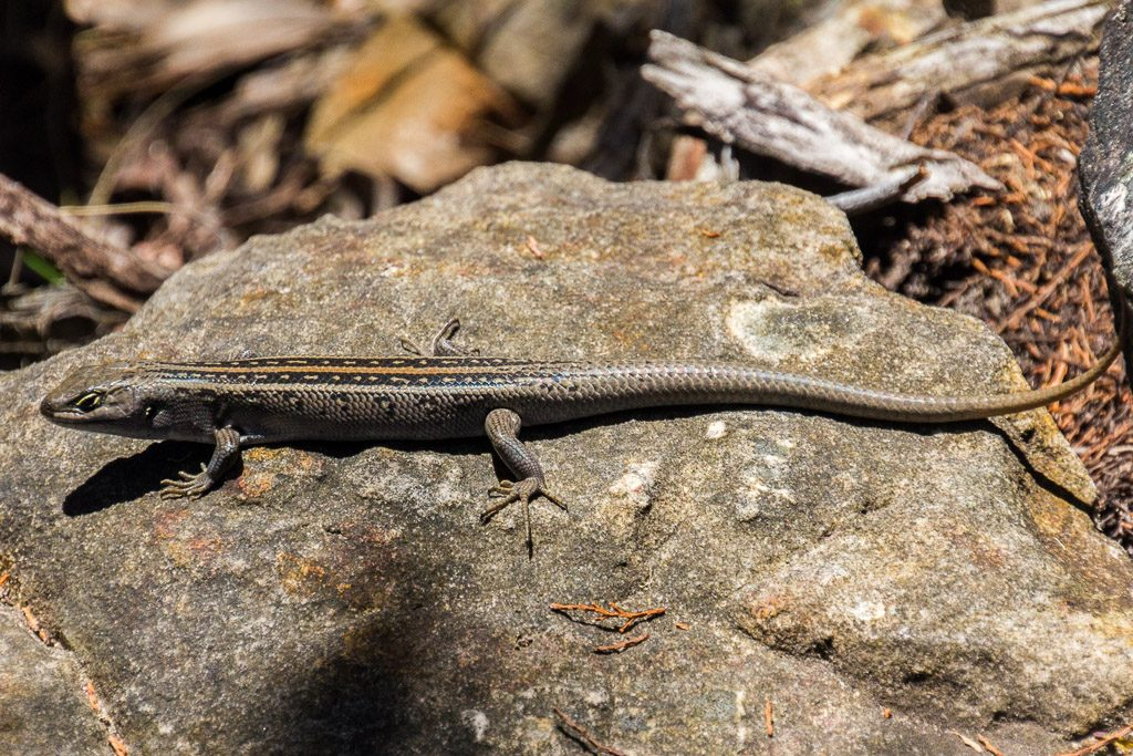 lizard-on-rock-grampians