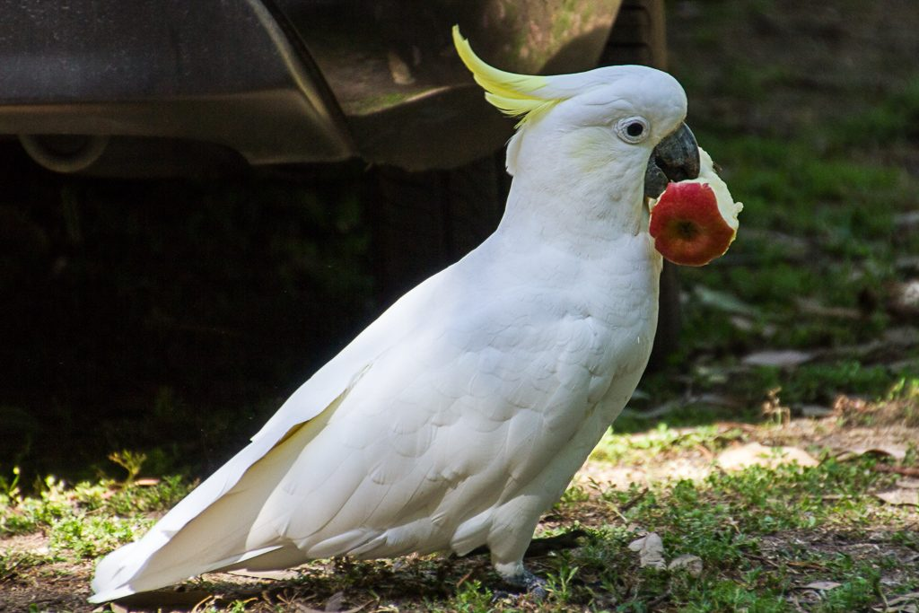 sulphur-crested-cockatoo-with-apple-in-mouth