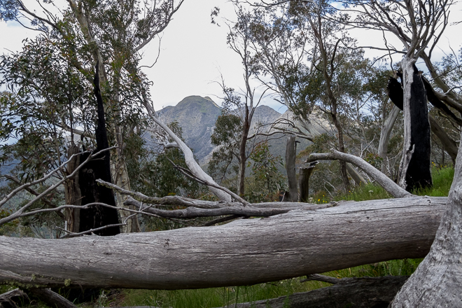 trees-mount-buller-in-distance