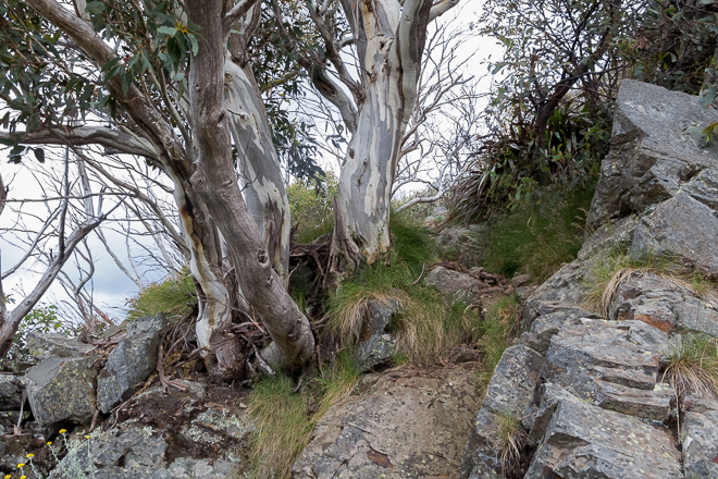 trees-rocks-west-ridge-mount-buller