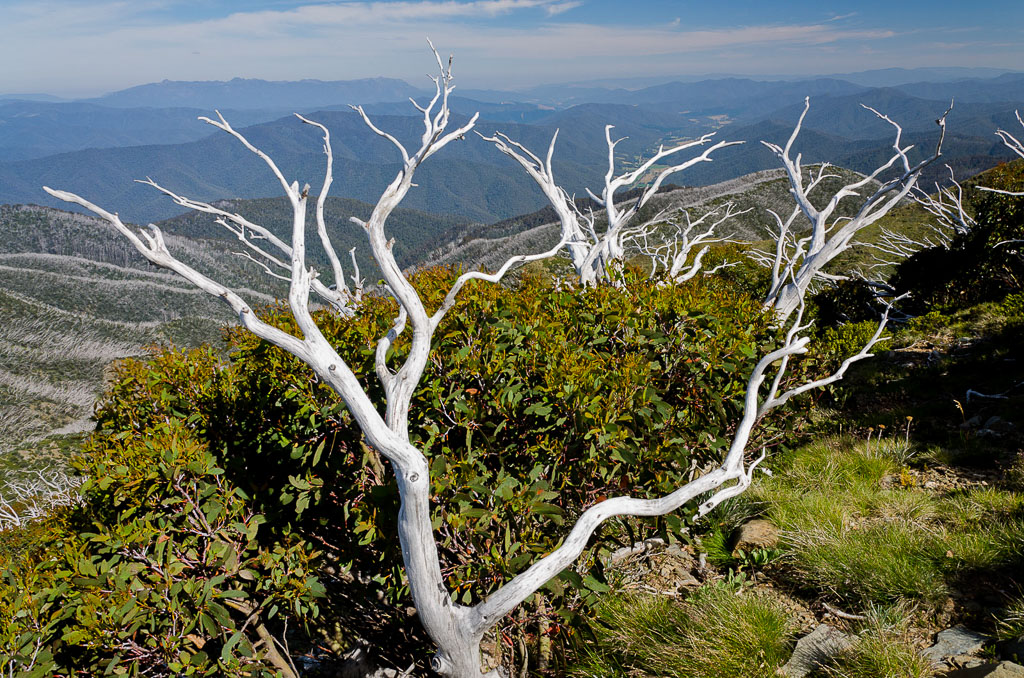 Alpine-trees-near-Mt-Feathertop