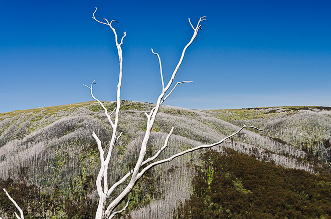 white tree Diamantina Spur
