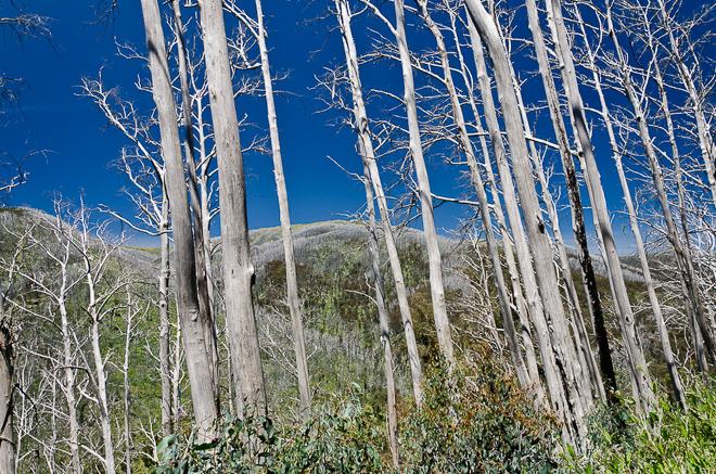 tall-trees-diamantina-spur