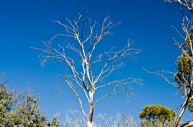 white-branches-eucalyptus