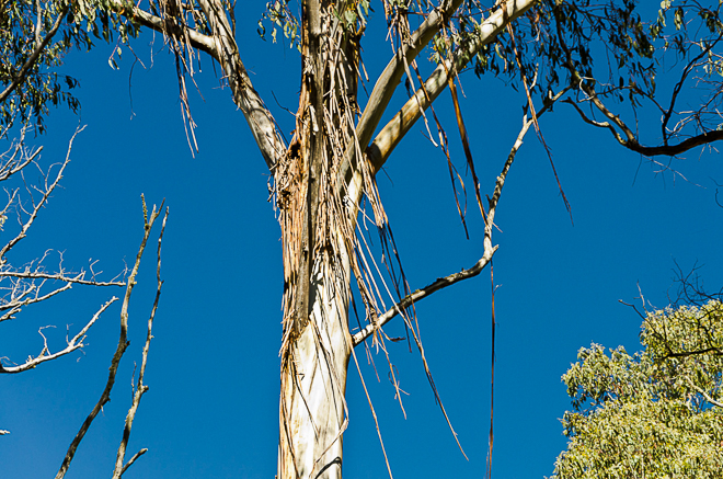 strips-bark-eucalyptus