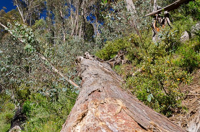 large-fallen-tree