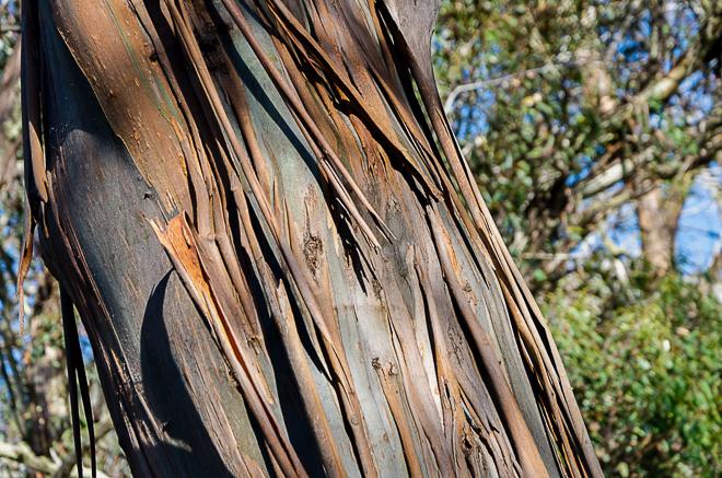 mountain-ash-eucalyptus-regnans