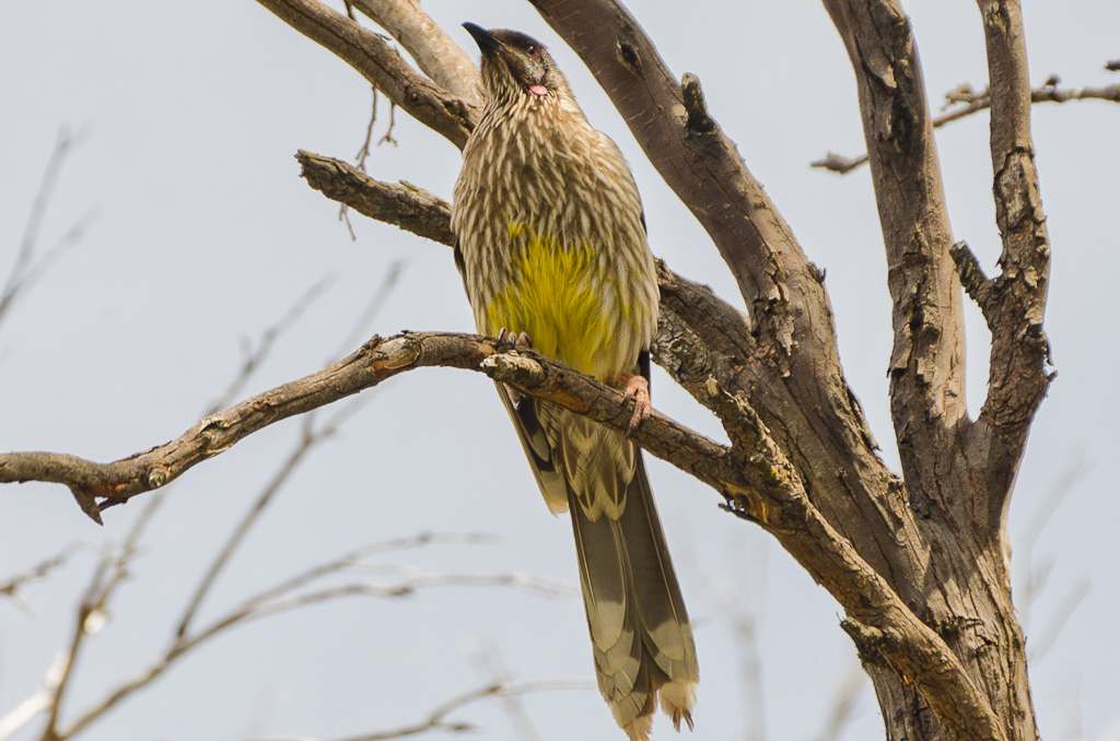 Red-Wattlebird