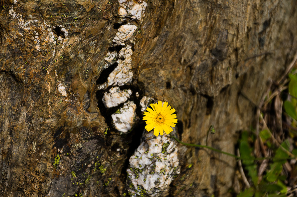 alpine-flower-on-rock