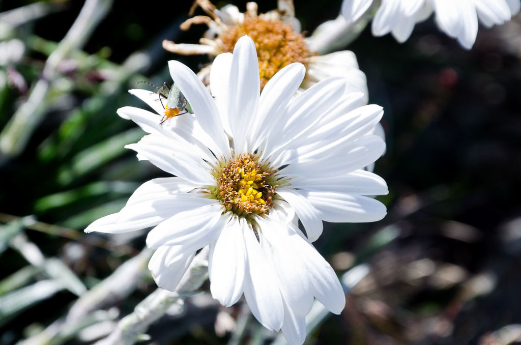 alpine-wild-flower