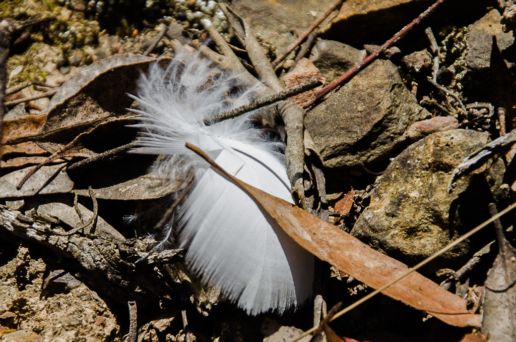 cockatoo-feather-on-ground-steiglitz