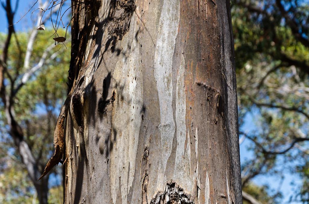 eucalyptus-tree-steiglitz