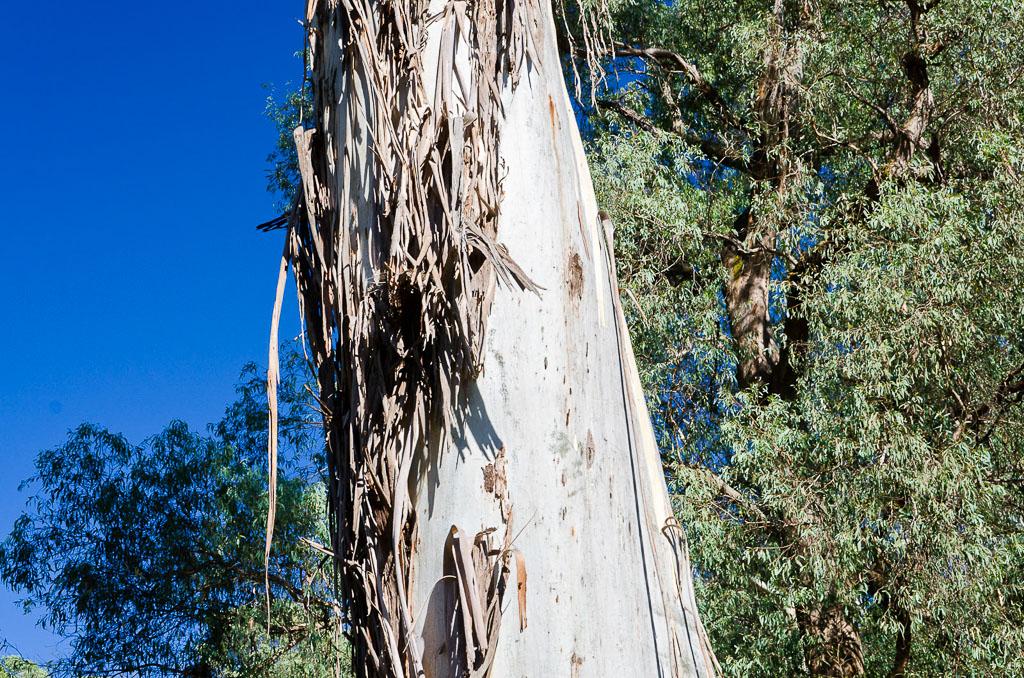 mountain-ash-tree