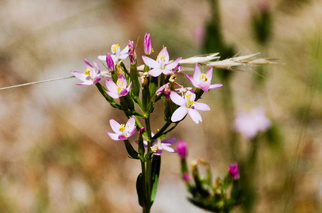 pink-white-flower-steiglitz